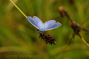 Common Blue Butterfly on sedge seed head
