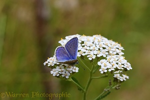 Common blue butterfly on Yarrow