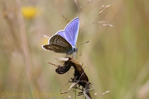Common Blue butterfly uncoiling tongue