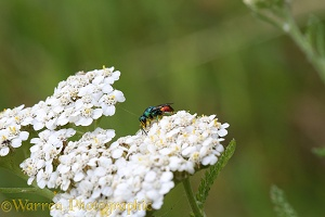 Ruby-tailed wasp on Yarrow