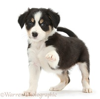 Tricolour Border Collie pup standing and pointing with paw