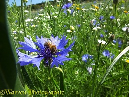 Honey Bee gathering nectar from Cornflower in 'Bee World'
