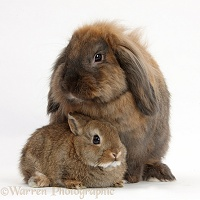Lionhead Lop rabbit and baby