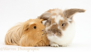 Shaggy ginger Guinea pig with brown-and-white rabbit