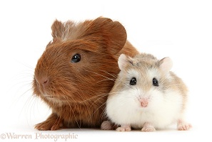 Baby red Guinea pig and cute Roborovski Hamster
