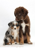 Miniature American Shepard puppies