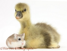 Cute Gosling and Roborovski Hamster