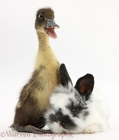 Duckling and black-and-white baby bunny