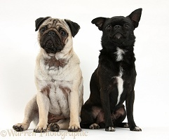 Fawn Pug and black Chug (Pug x Chihuahua), sitting