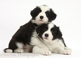 Two black-and-white Border Collie pups