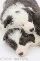 Two blue-and-white Border Collie pups sleeping