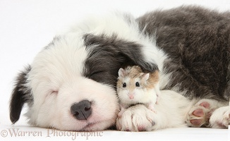 Cute sleepy Border Collie puppy and Roborovski Hamster