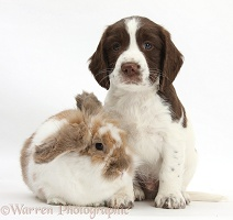 Working English Springer Spaniel puppy and rabbit