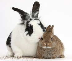 Black-and-white rabbit and baby