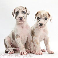Two Great Dane puppies sitting together