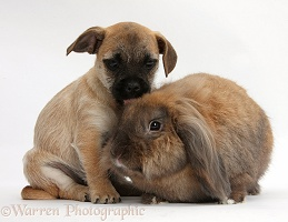 Jug puppy (Pug x Jack Russell) and rabbit