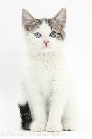 Blue-eyed tabby-and-white Siberian-cross kitten
