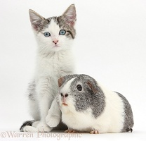Blue-eyed tabby-and-white kitten and Guinea pig