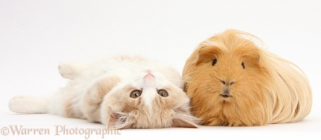 Ginger-and-white Siberian kitten and Guinea pig