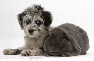 Blue merle Cadoodle puppy with blue Lop rabbit
