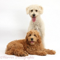 Cute Goldendoodle puppy and bitch