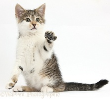 Tabby-and-white kitten sitting with raised paw