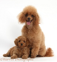 Red Toy Poodle father and puppy