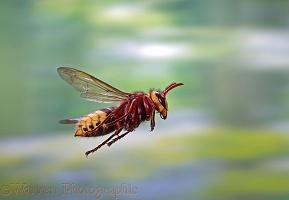Hornet worker in flight