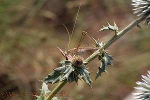 Brown bush-cricket