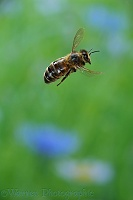 Honey bee in flight