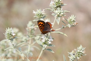 Small Copper butterfly female