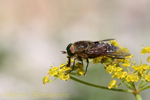 Horsefly male feeding on umbellifer