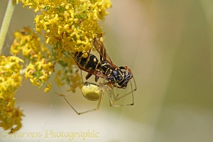 A spider overcomes a Paper Wasp
