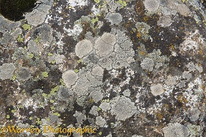 Lichen pattern on a limestone boulder