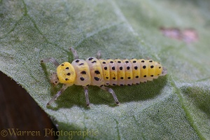 Twenty-two spot Ladybird larva
