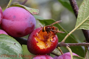 Hornet worker feeding on Victoria plum