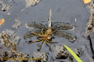 Raft Spider feeding on drowned dragonfly