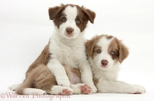 Two cute lilac and chocolate Border Collie puppies