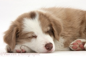 Cute lilac Border Collie puppy, 7 weeks old, sleeping