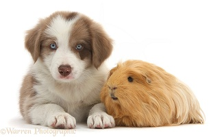 Cute lilac Border Collie puppy and Guinea pig