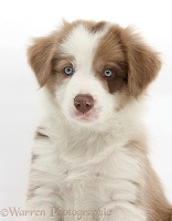 Cute lilac Border Collie puppy, 7 weeks old
