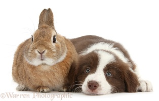Chocolate Border Collie pup and rabbit