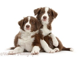 Two cute chocolate Border Collie puppies