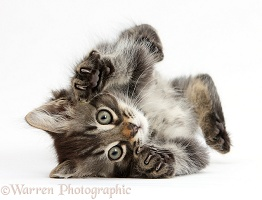 Tabby kitten, playfully rolling