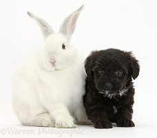 Black Yorkipoo pup, 6 weeks old, with white rabbit