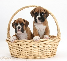 Two Boxer puppies in a wicker basket