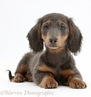 Blue-and-tan Dachshund puppy