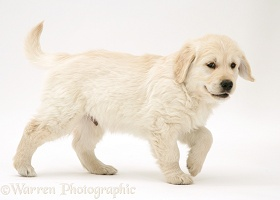Golden Retriever puppy walking across