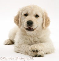 Smiley Golden Retriever pup lying, head up, paws crossed
