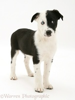 Black-and-white Border Collie